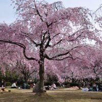 Sakura no Parque Shonai em Nagoya