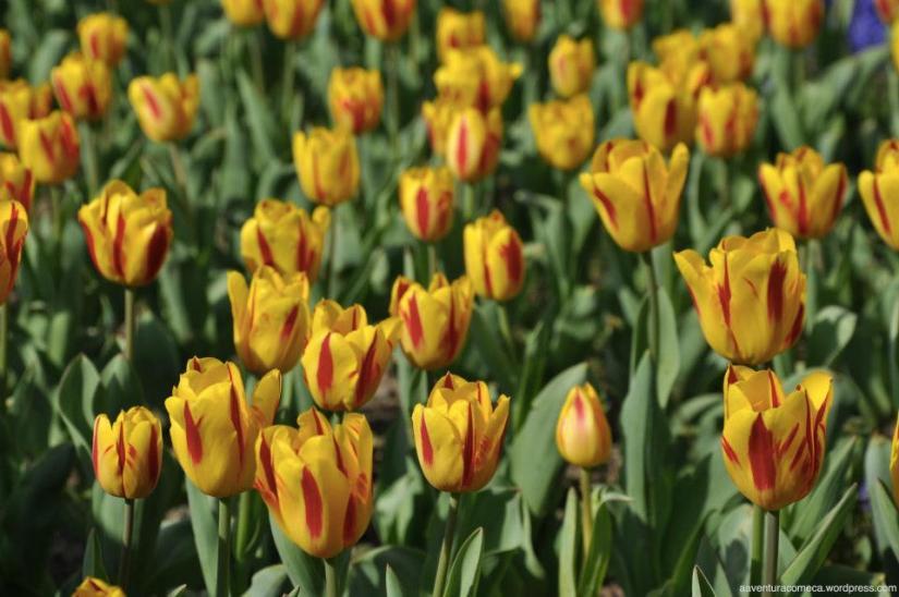 tulipas park kiso gifu japao-27