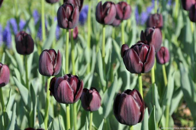tulipas park kiso gifu japao-39