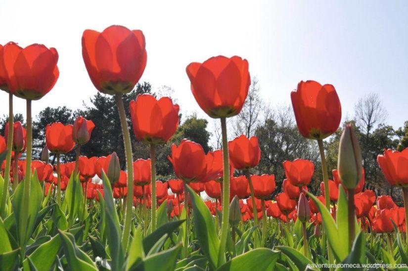 tulipas park kiso gifu japao-43