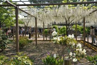 fuji flower festival konan glicinias-12