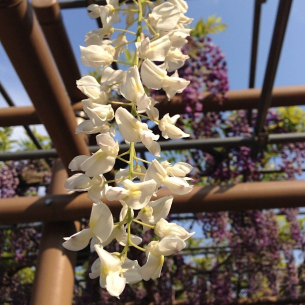 fuji flower festival konan glicinias-14