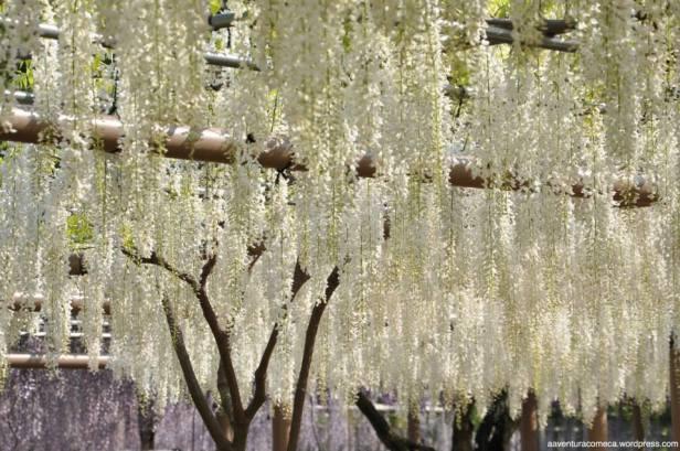 fuji flower festival konan glicinias-18