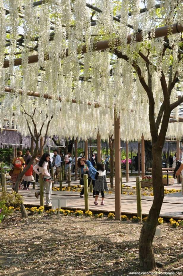 fuji flower festival konan glicinias-24