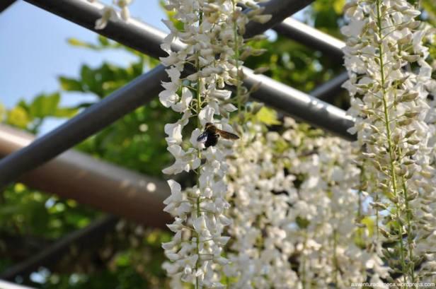 fuji flower festival konan glicinias-6