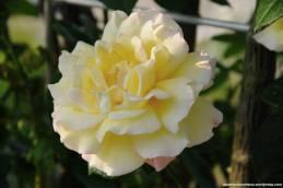 hana festa rosas kani japao-12
