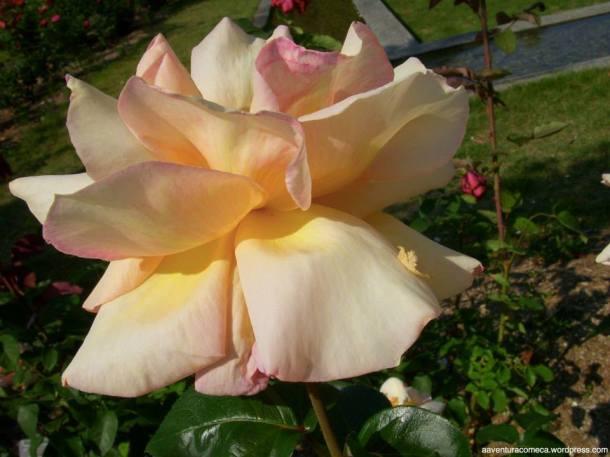 hana festa rosas kani japao-24