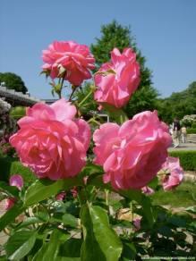 hana festa rosas kani japao-9