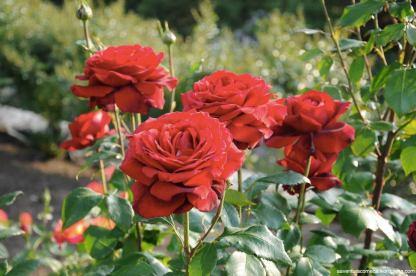 rosas hana festa kani japao-14