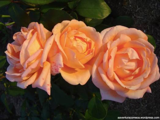 rosas hana festa kani japao-2