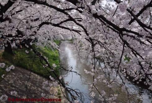 iwakura sakura matsuri japao