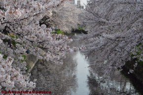 Iwakura Sakura Matsuri