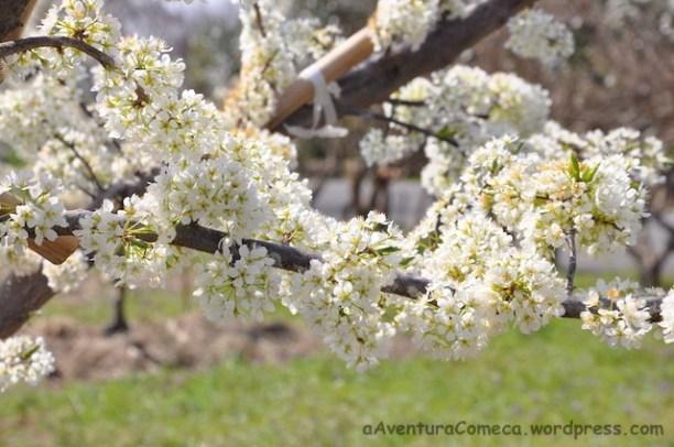árvore de pêssego