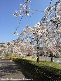 togokusan fruits park sakura