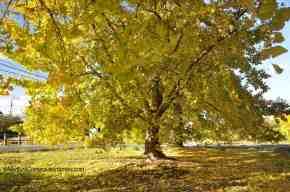 Folhas Amarelas de Ginkgo emInazawa
