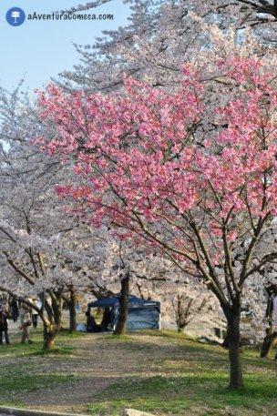 sakura japao parque ochiai cores barraca