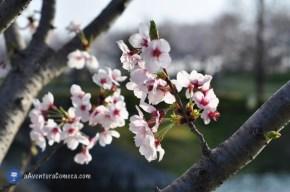 Primavera no Japão:Sakura