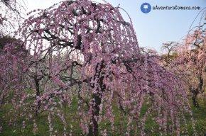 Shidare Ume: Flores de Ameixeiras Chorão emNagoya