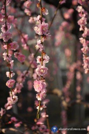 Shidare Ume Nagoya japao flores ameixeiras